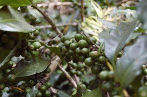 zelená káva-cena-skúsenosti-účinky