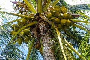 kokosový olej-cena-účinky-využitie