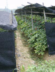 ženšen-pestovani-cena-ucinky-hodnocení