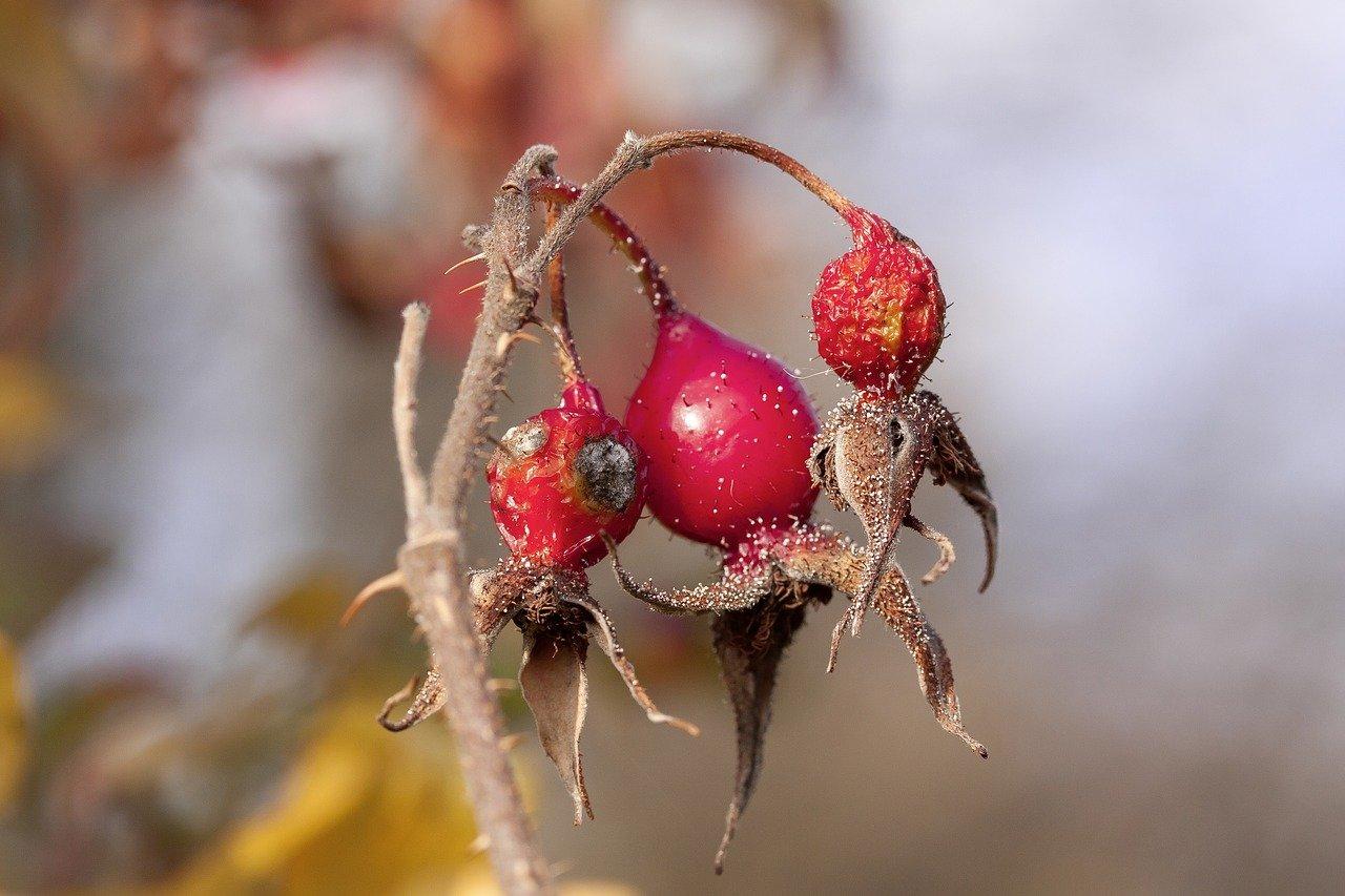 ruža-šípová-plody-olej-účinky-cena-šípkový olej