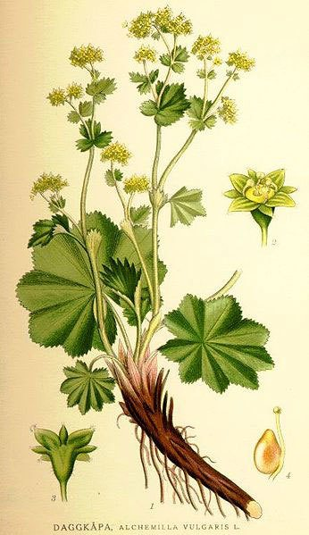 alchemilka rastlina
