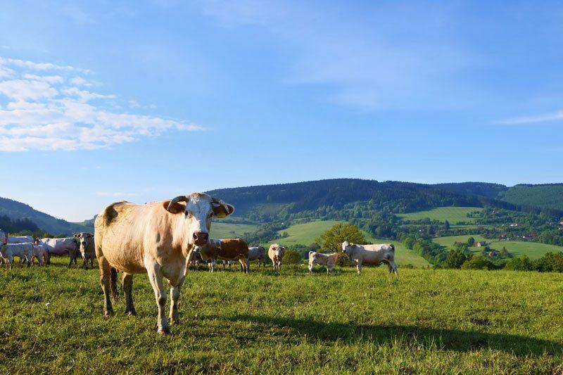 kravy a kravské kolostrum